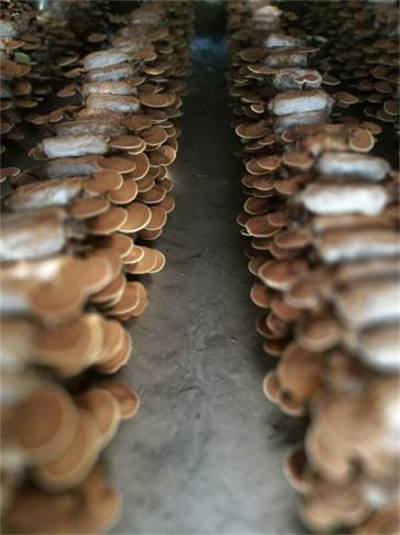 滁州灵芝孢子粉厂家价格