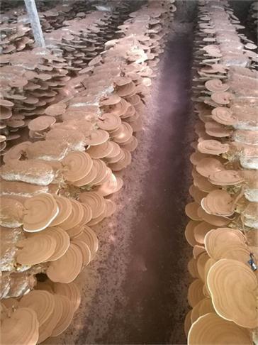 青岛破壁灵芝孢子粉生产基地
