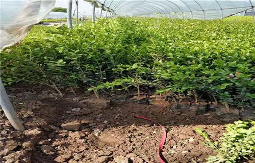 常春藤——种植基地