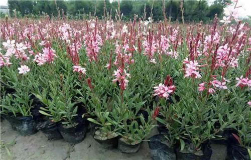 紫松果菊——春天可以栽植吗